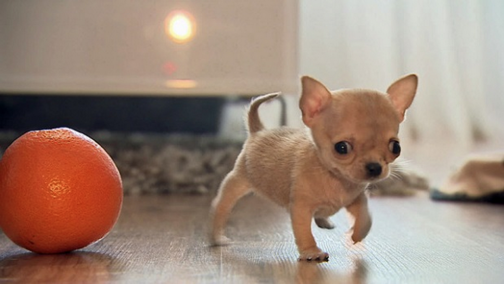 the smallest dog in the world - 1024×576